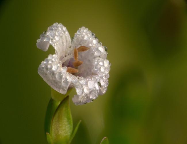 Brahmi, a plant used in Pukka's Illuminate range.