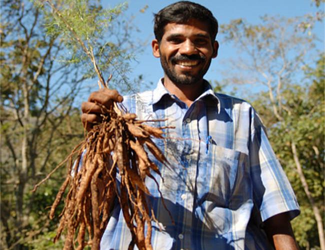 Pukka herbs experiments with shatavari.