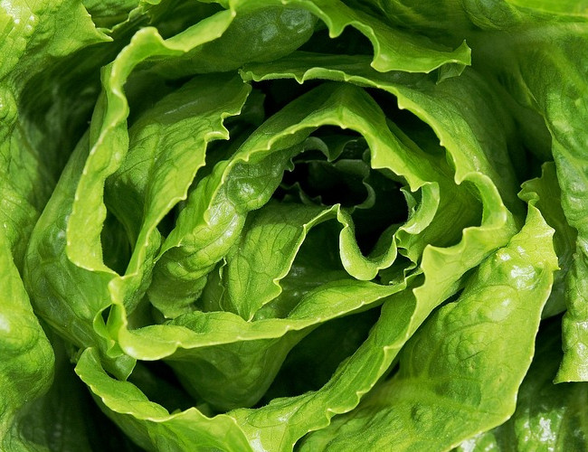 Lettuce has a high water content which helps to hydrate. Image credit: pixabay.com.