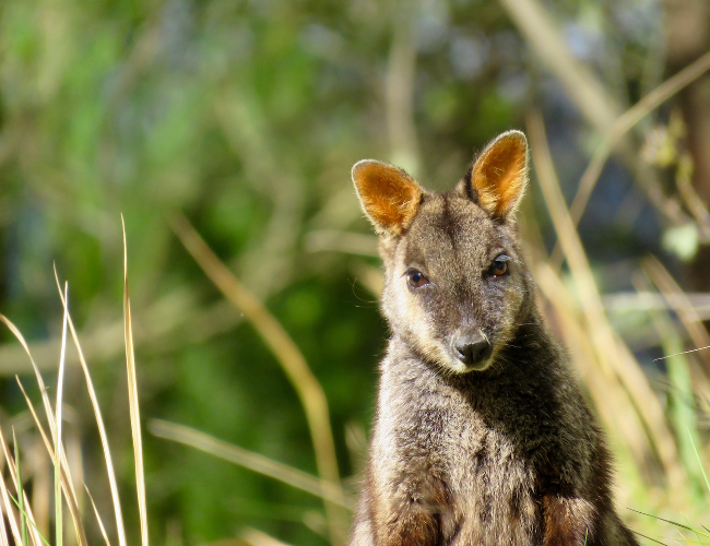 Spicers Peak Wallaby