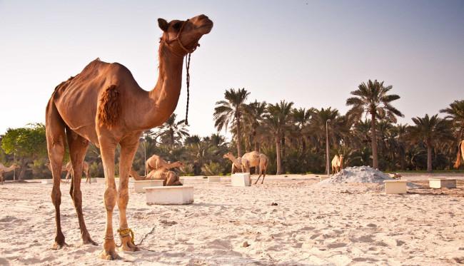 The Royal Camel Farm