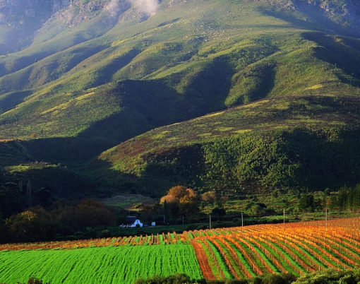 CAPE VINEYARDS-CAPE WINELANDS-SOUTH AFRICA