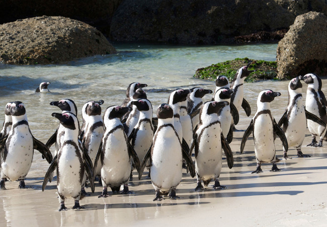 Top 10 things to do in Cape Town Luxury Lifestyle Magazine : Boulders Beach from www.luxurylifestylemag.co.uk size 650 x 452 jpeg 113kB