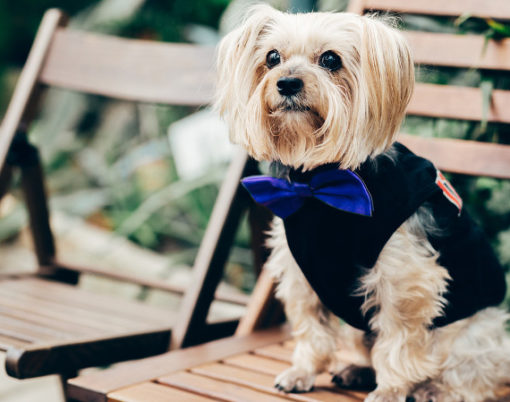 Photo of beautiful fluffy dog in festive clothes with bow tie, sits on wooden chair, waits for wedding ceremony outdoor. Animals concept