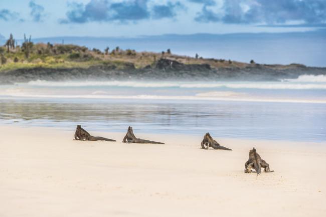 Galapagos Marine Iguana walking on Tortuga bay. Many Marine iguanas on beach on Santa Cruz Island, Galapagos Islands. Animals, wildlife and beautiful nature landscape in Ecuador, South America.