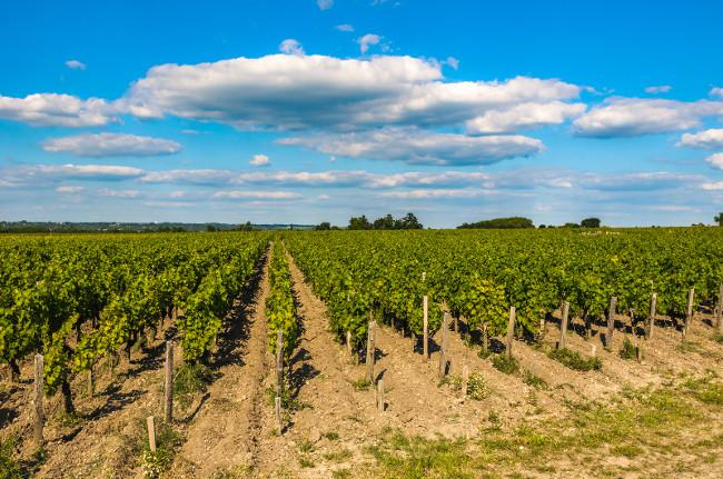 Vineyards of Saint Emilion in Bordeaux, France