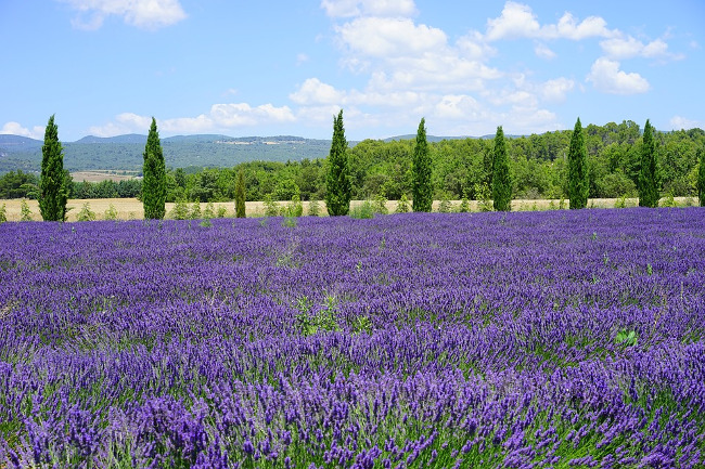 lavender-field-