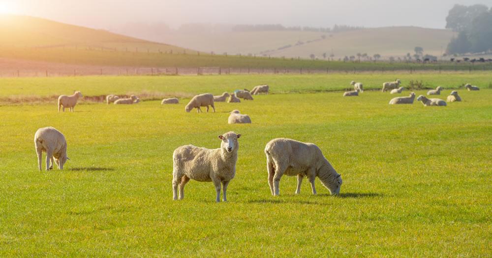 bigstock-Sheep-Grazing-On-A-Hill-In-Cen-303552229