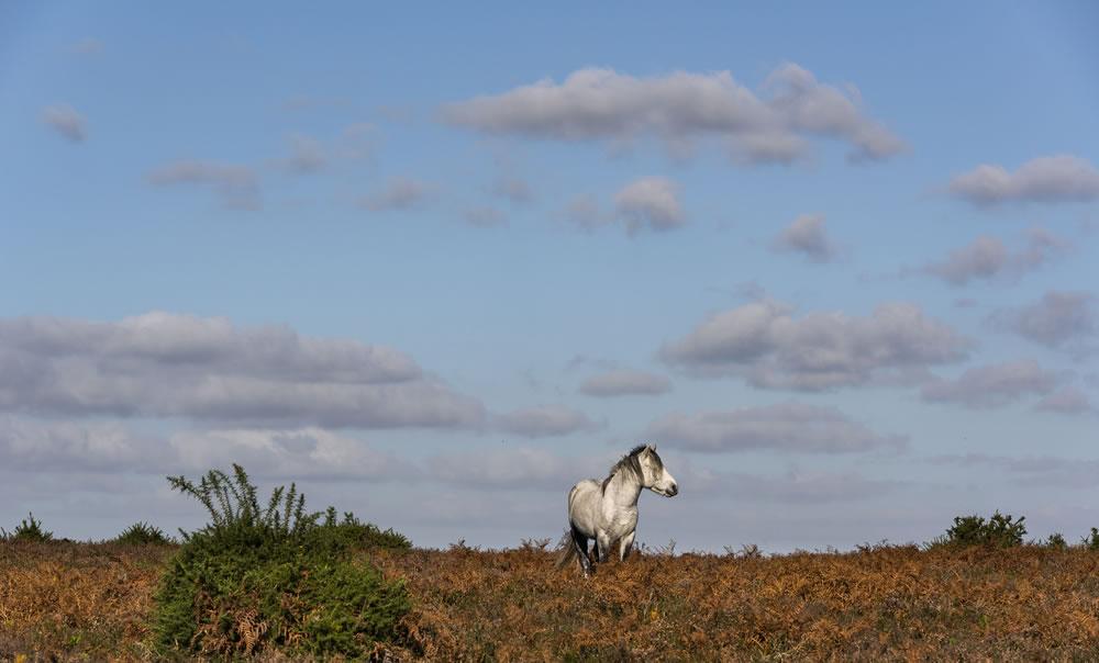bigstock-White-Horse-On-Heathland-In-Ne-272214205