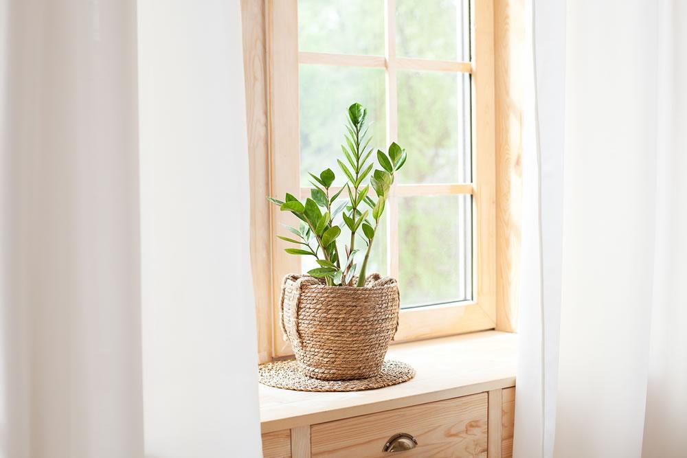 bigstock-Zamioculcas-Home-Plant-In-Stra-328922830