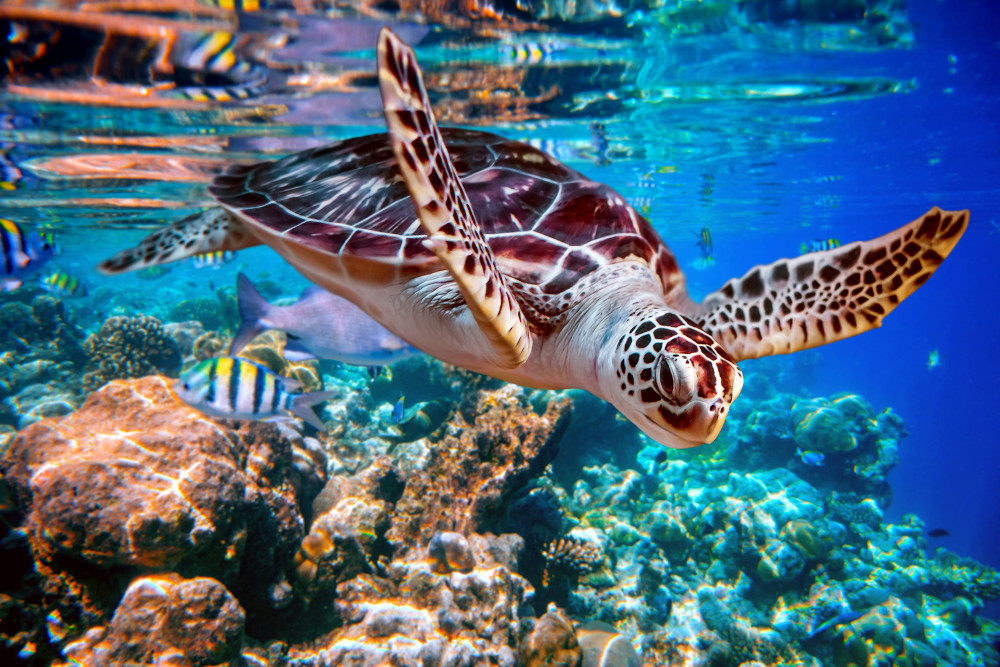 Sea turtle swims under water on the background of coral reefs. M