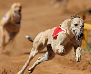 bigstock-Sprinting-Greyhound-32925386