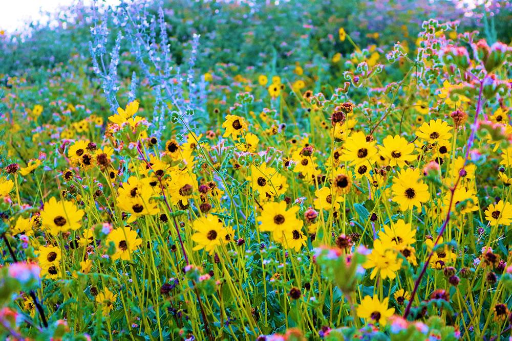 bigstock-Brittlebush-Plants-Wildflower--368245117