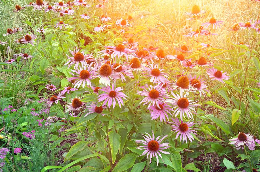 bigstock-Garden-Pink-Echinacea-Flowers-323403037