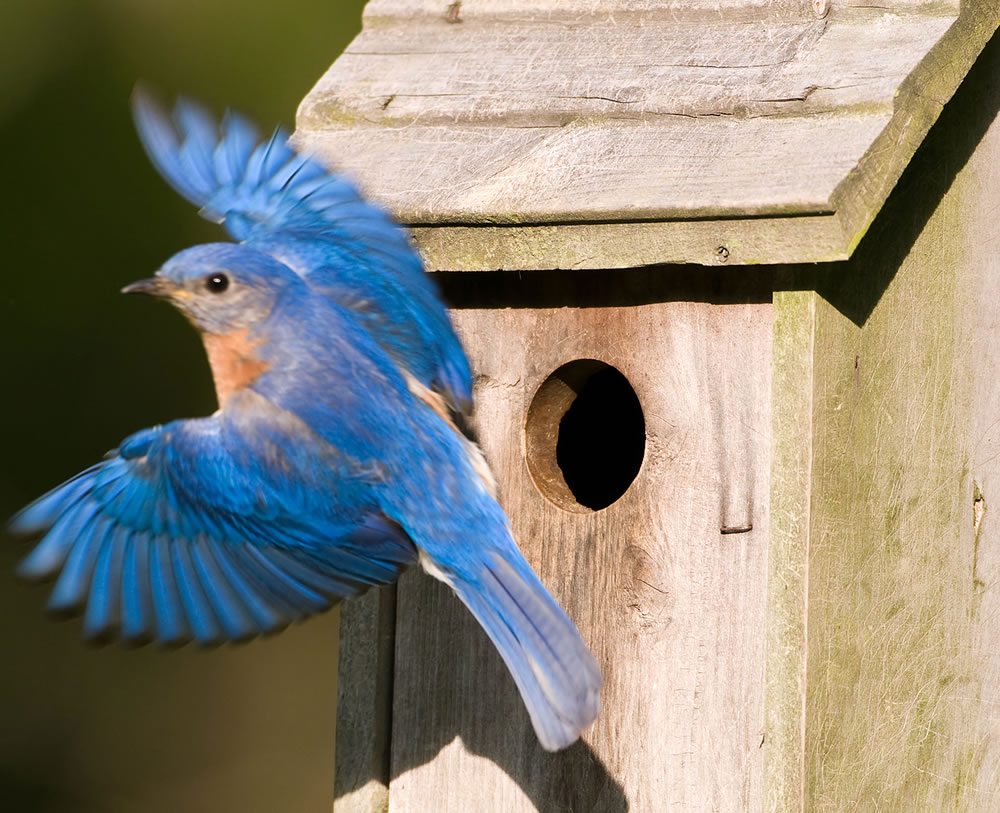 bigstock-Bluebird-Leaving-The-Birdhouse-5107405