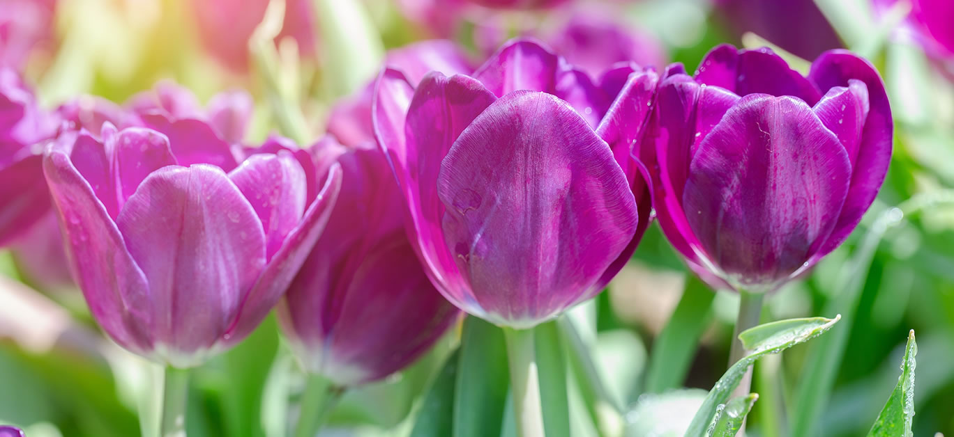 bigstock-Tulip-Flower-Beautiful-Tulips-334972480