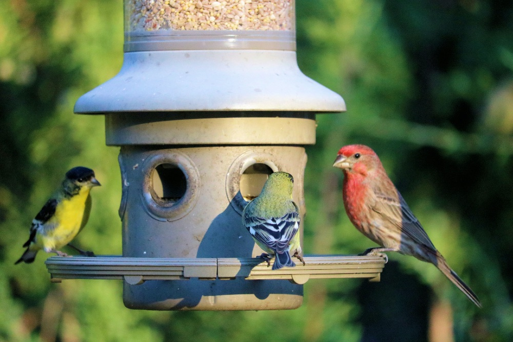 Several birds on a bird feeder in the garden.