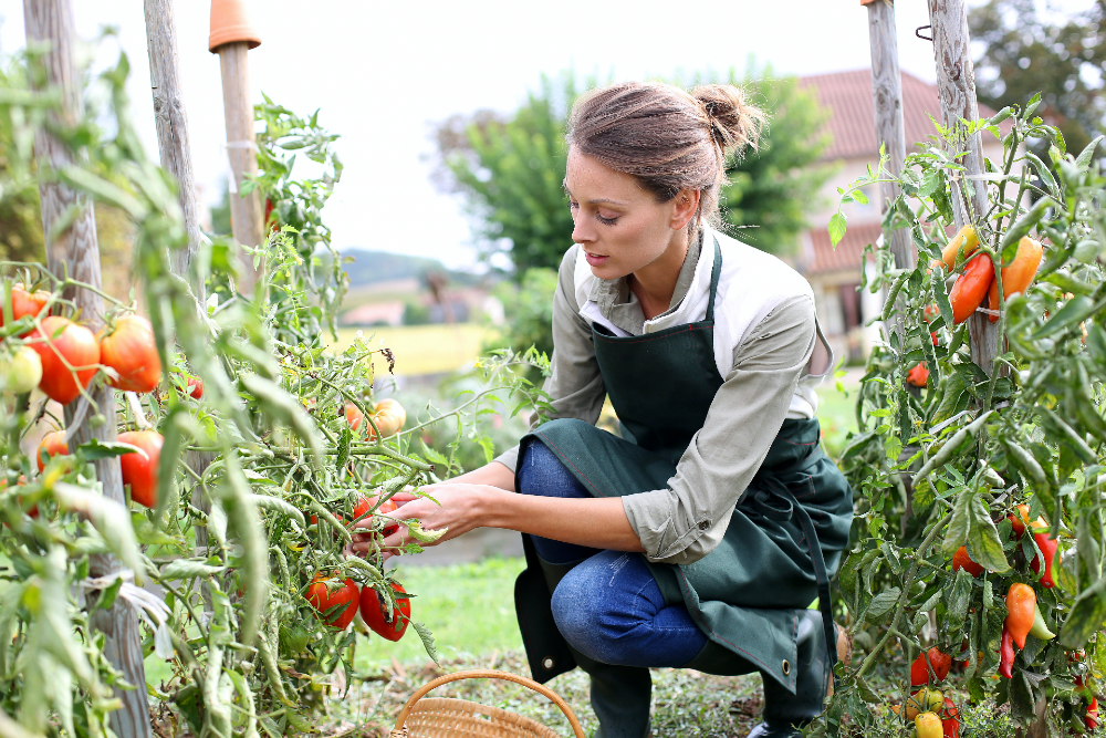 Woman tending to tomatoes in the garden.