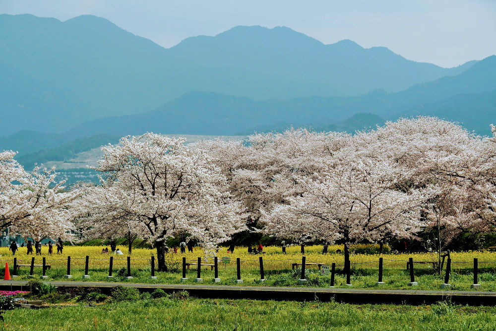 Cherry blossom trees in season