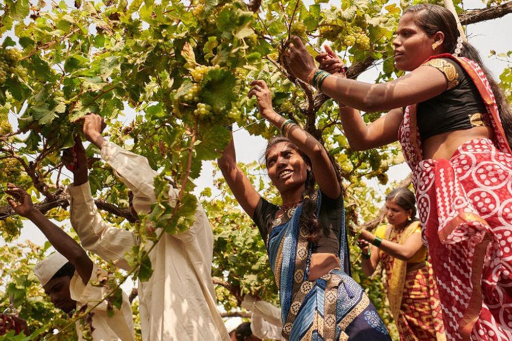 Team picking grapes