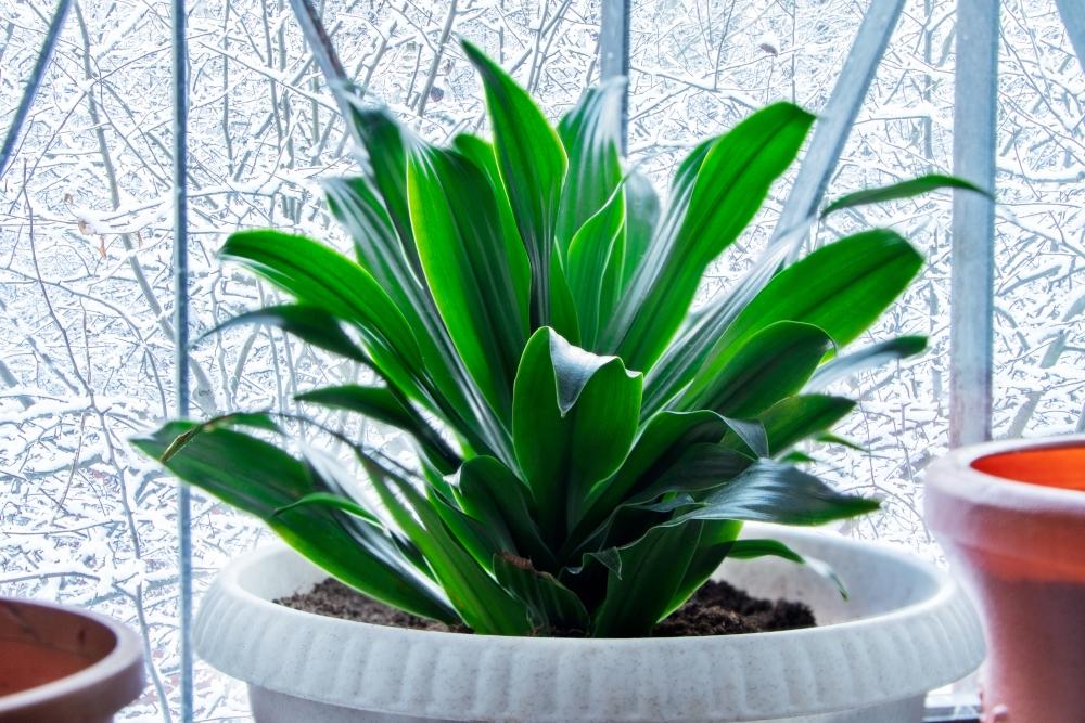 Aspidistra. A plant in white pot on a windowsill Home plant.