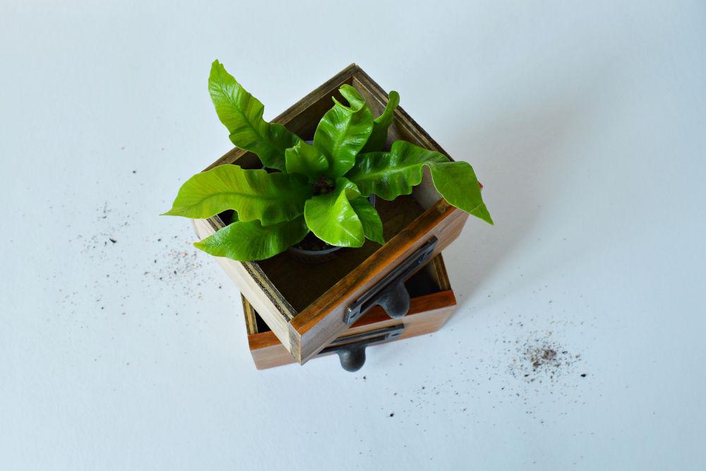 Asplenium crispy wave house plant in wooden box and soil over white