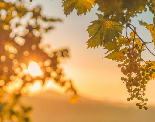 Grapes Leaves In A Vineyard. Vineyards At Sunset, Closeup
