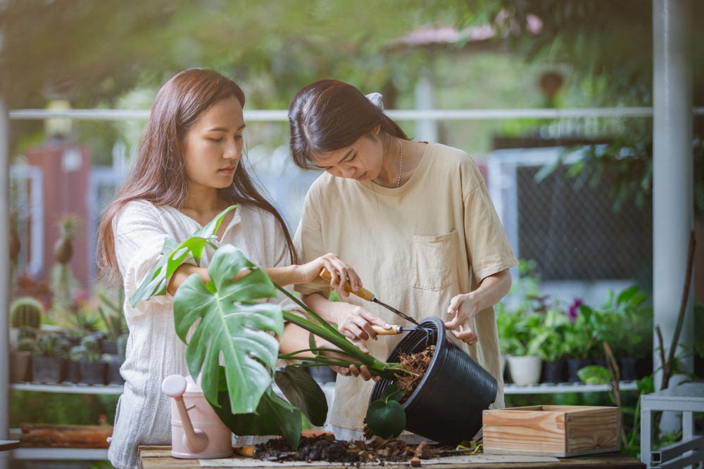 women are helping to replace a new pot for the monstera plant or split-leaf philodendron