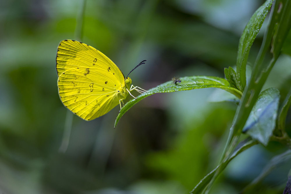 ayatana butterfly