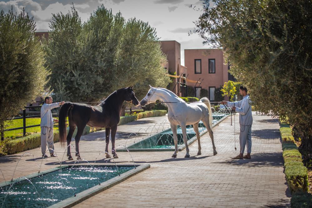 Arabian horses at Selman Marrakech